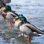 Mallard Ducks lined up in a row on a beach